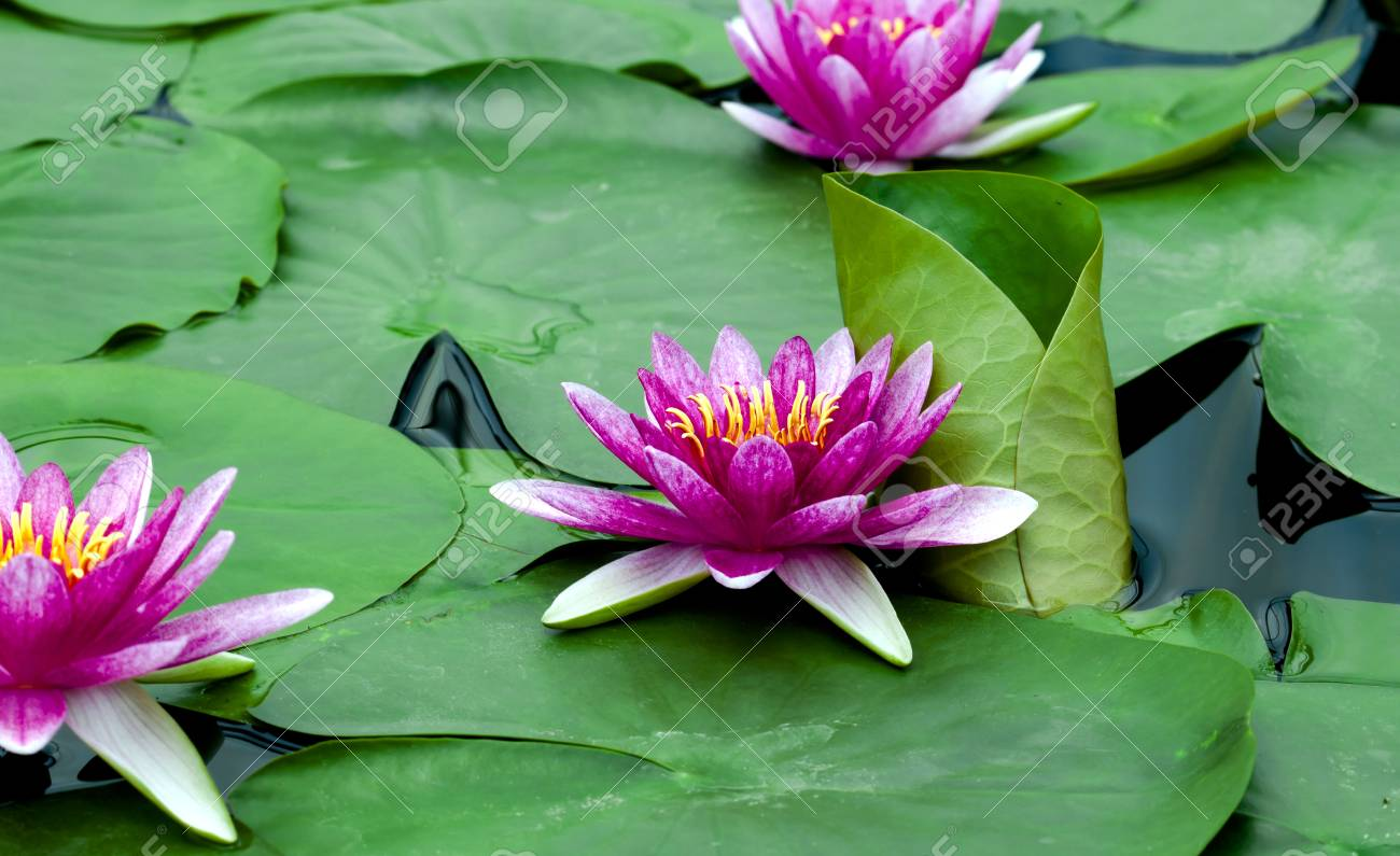 Beautiful lotus flower is the symbol of the buddha thailand stock beautiful lotus flower is the symbol of the buddha thailand stock photo 84822571 mightylinksfo