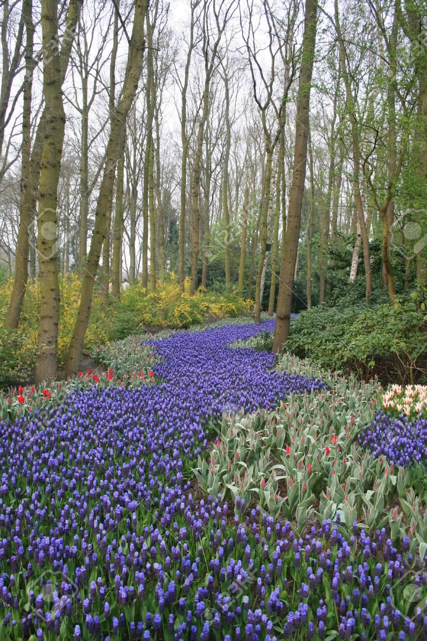 17ef1139e9 Archivio Fotografico - Una via fatta di tulipani viola che corrono tra gli  alberi in una piccola foresta