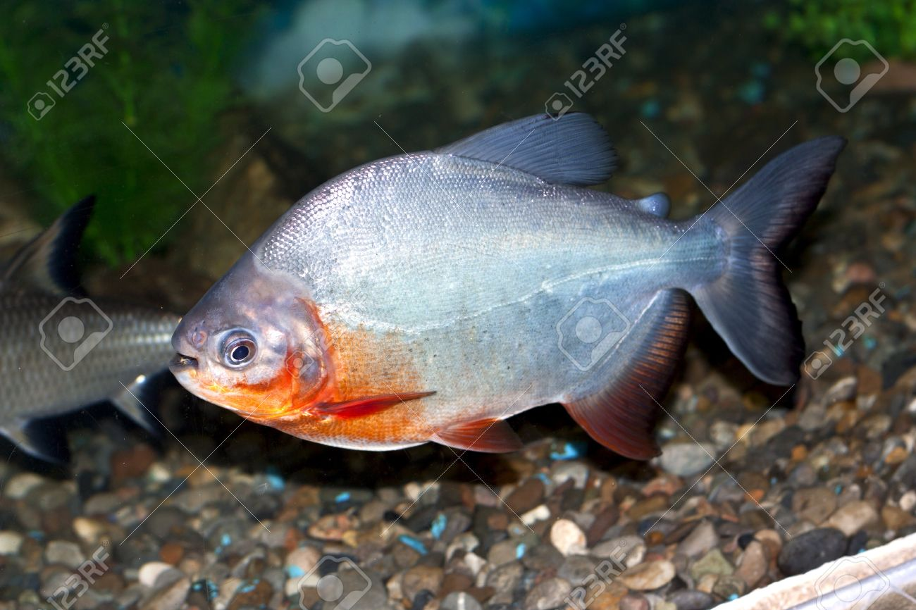 piranha fish stock photo, picture and royalty free image. image 8933982.