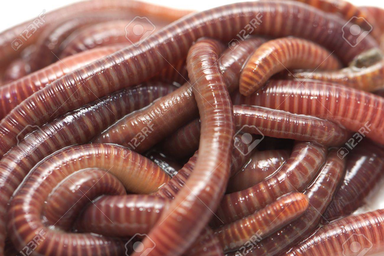 earthworms. macro Stock Photo - 16617175