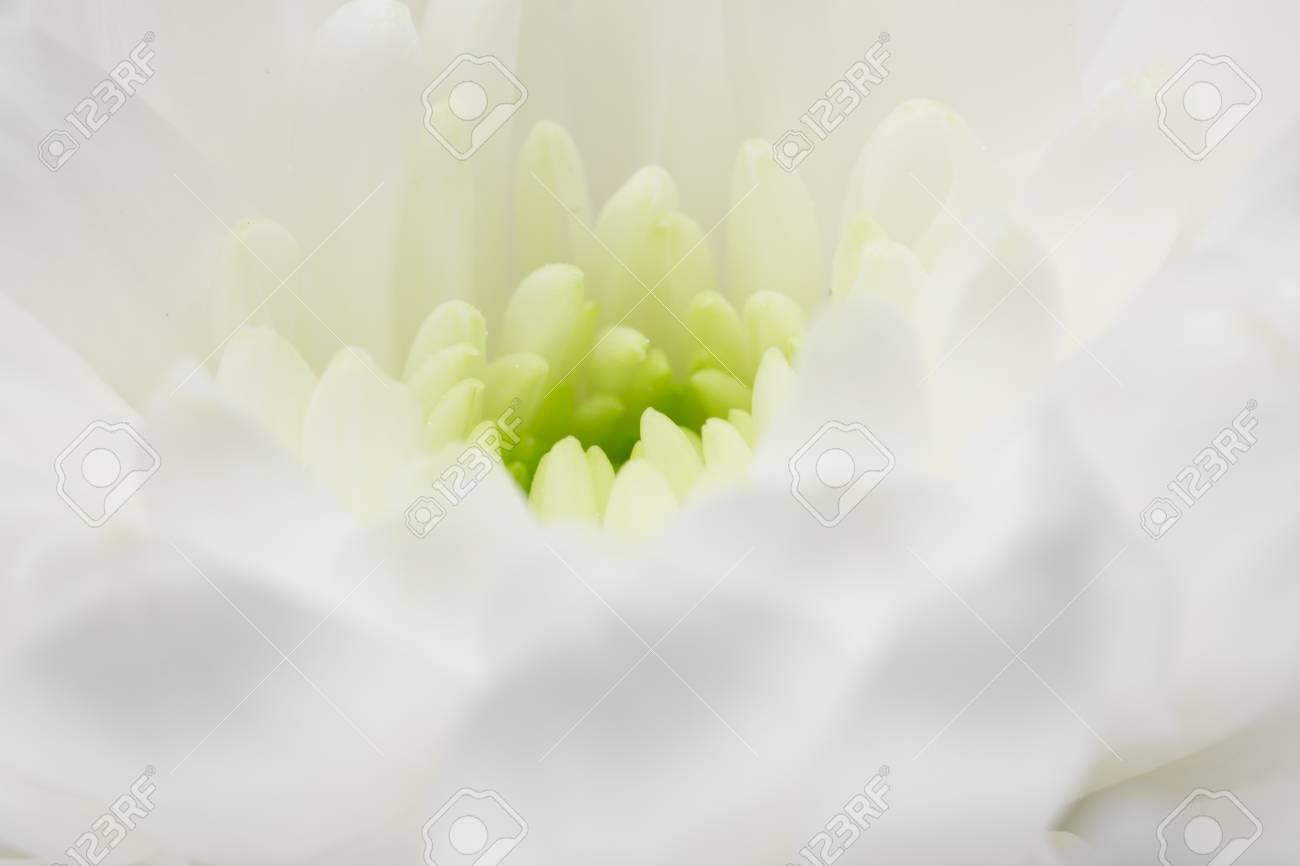 Vue Rapprochee De La Fleur Blanche Aster Avec Des Petales Blancs Et