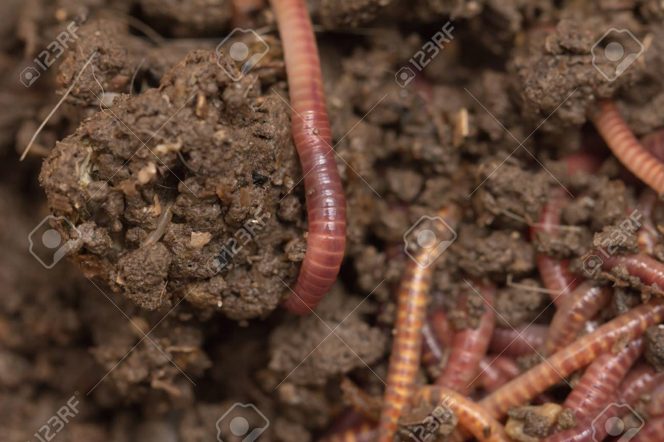 red worms in compost - bait for fishing Stock Photo - 18756604