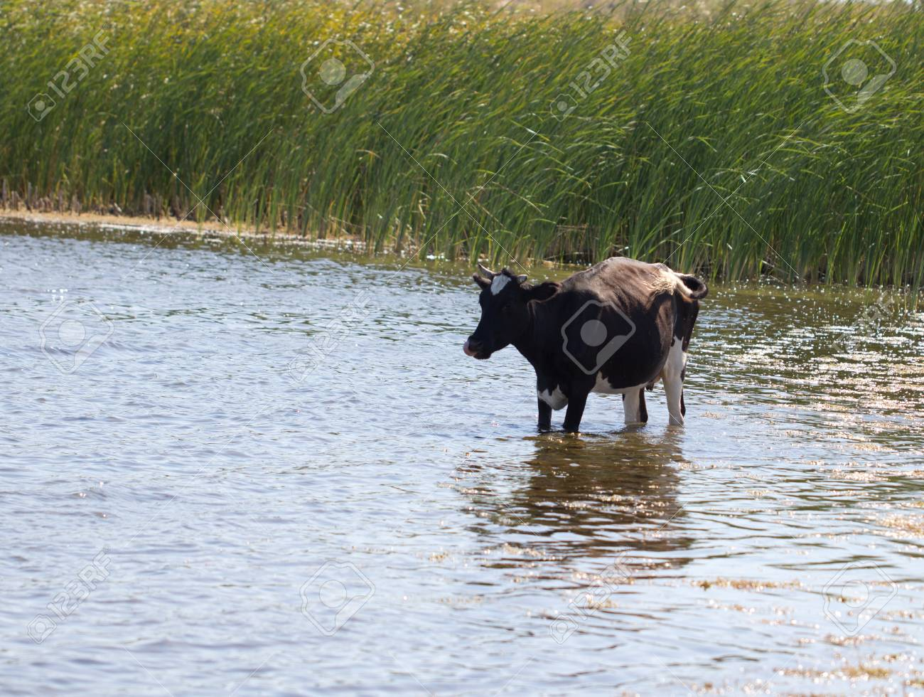 cow in the water on the lake Stock Photo - 25332815