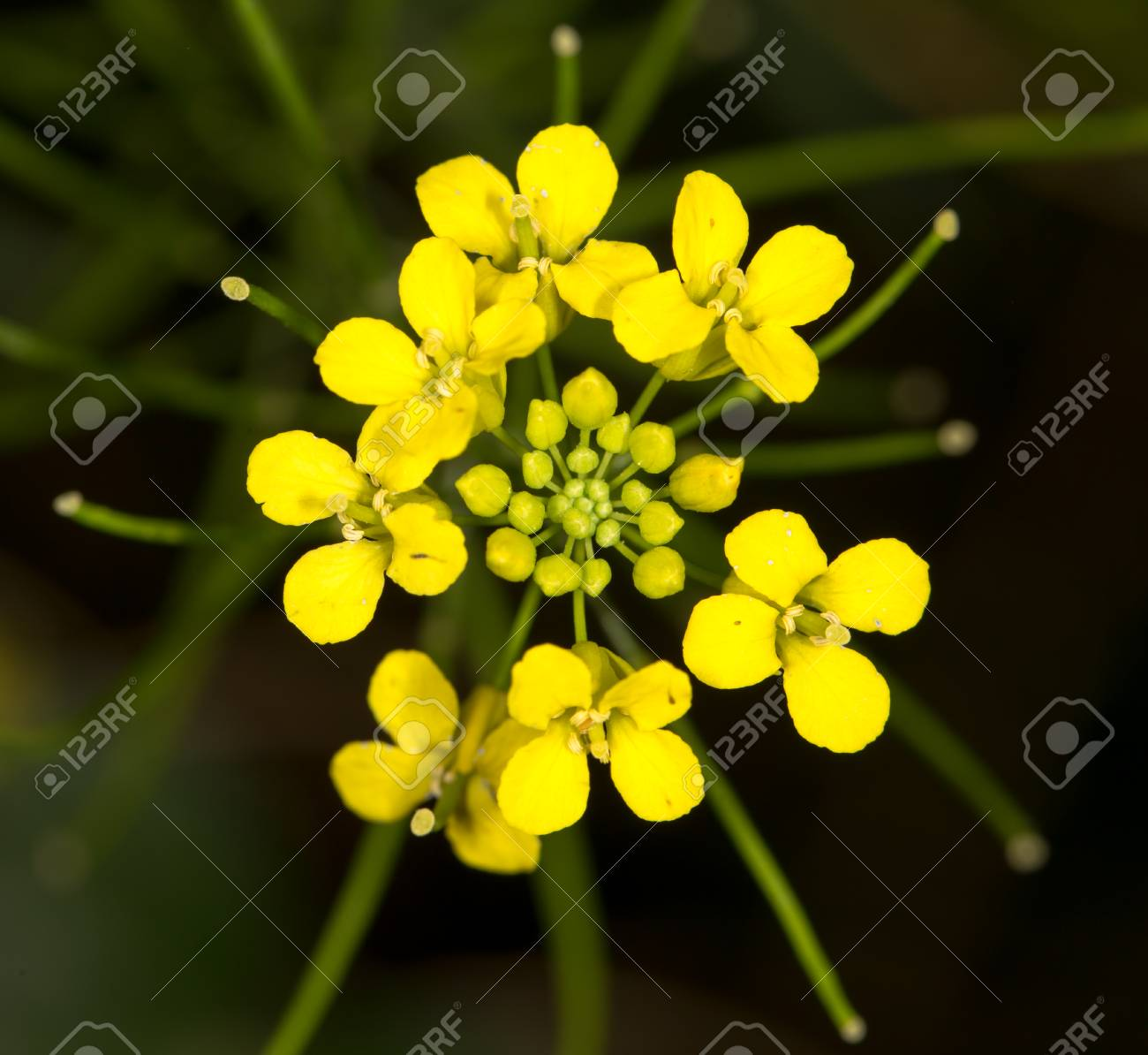 Beautiful Yellow Flower In Nature Stock Photo Picture And Royalty