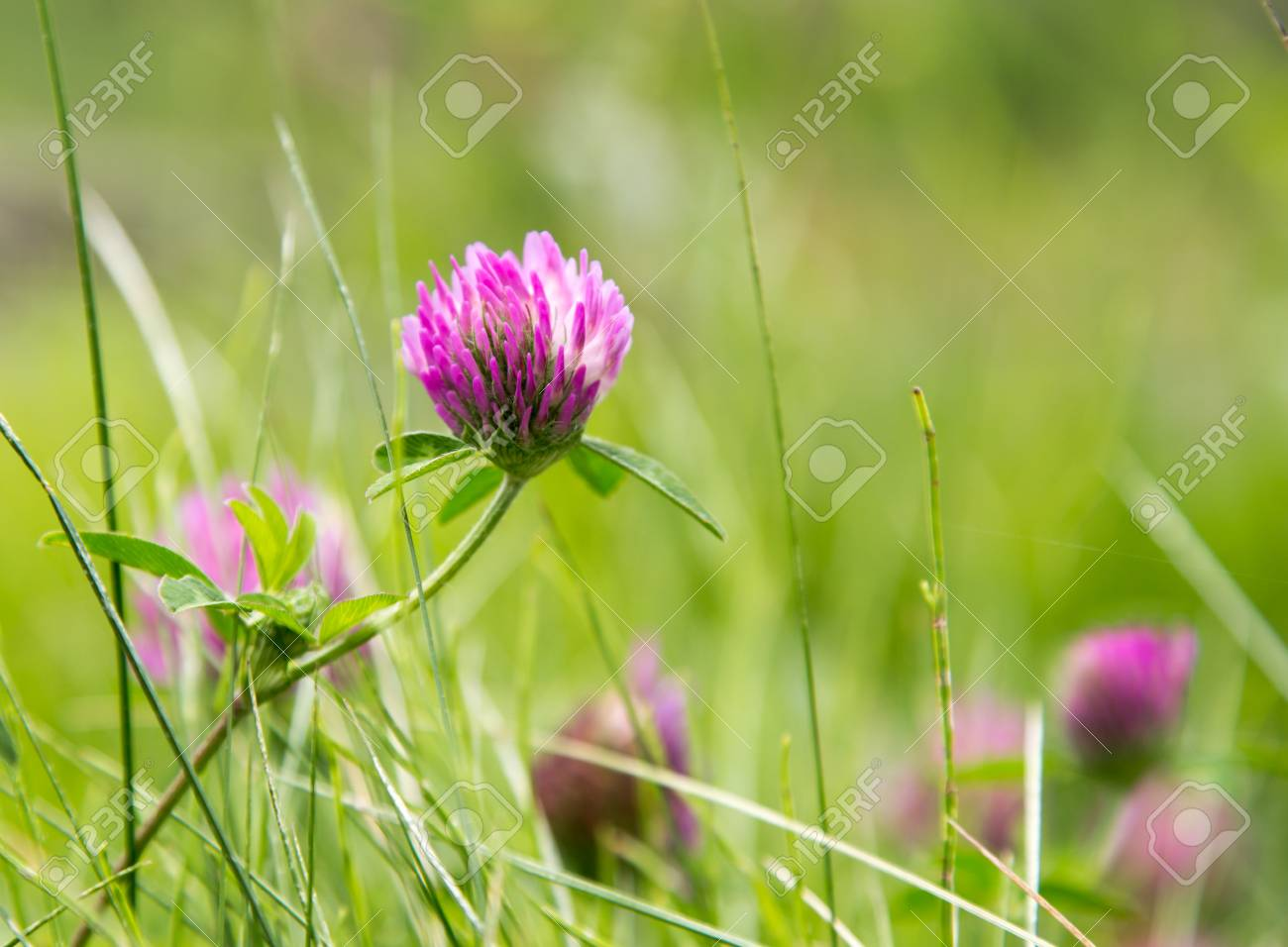Purple Clover Flowers In Nature Stock Photo Picture And Royalty
