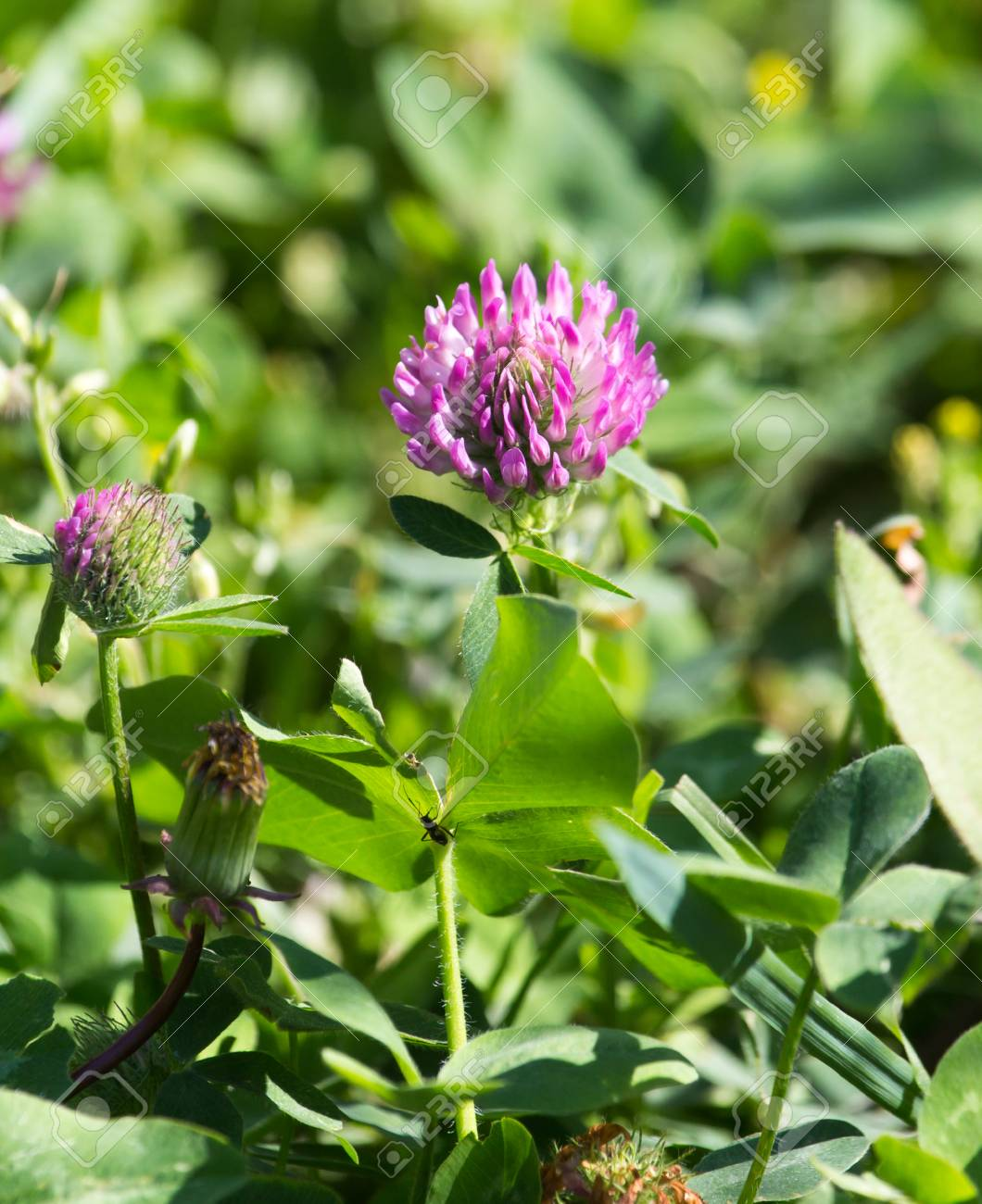 Beautiful Purple Clover Flower In Nature Stock Photo Picture And