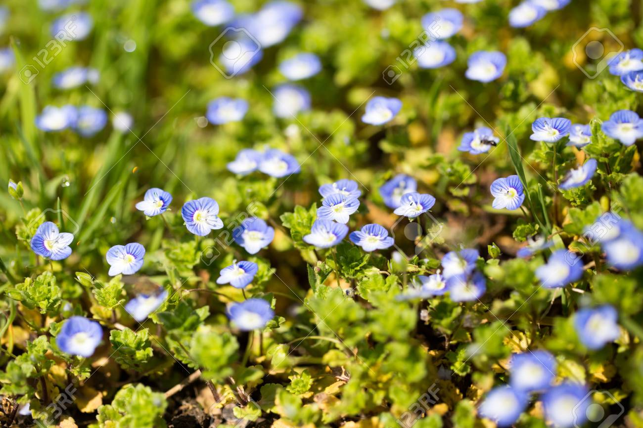 Small Blue Flowers In A Park In The Nature Stock Photo Picture And