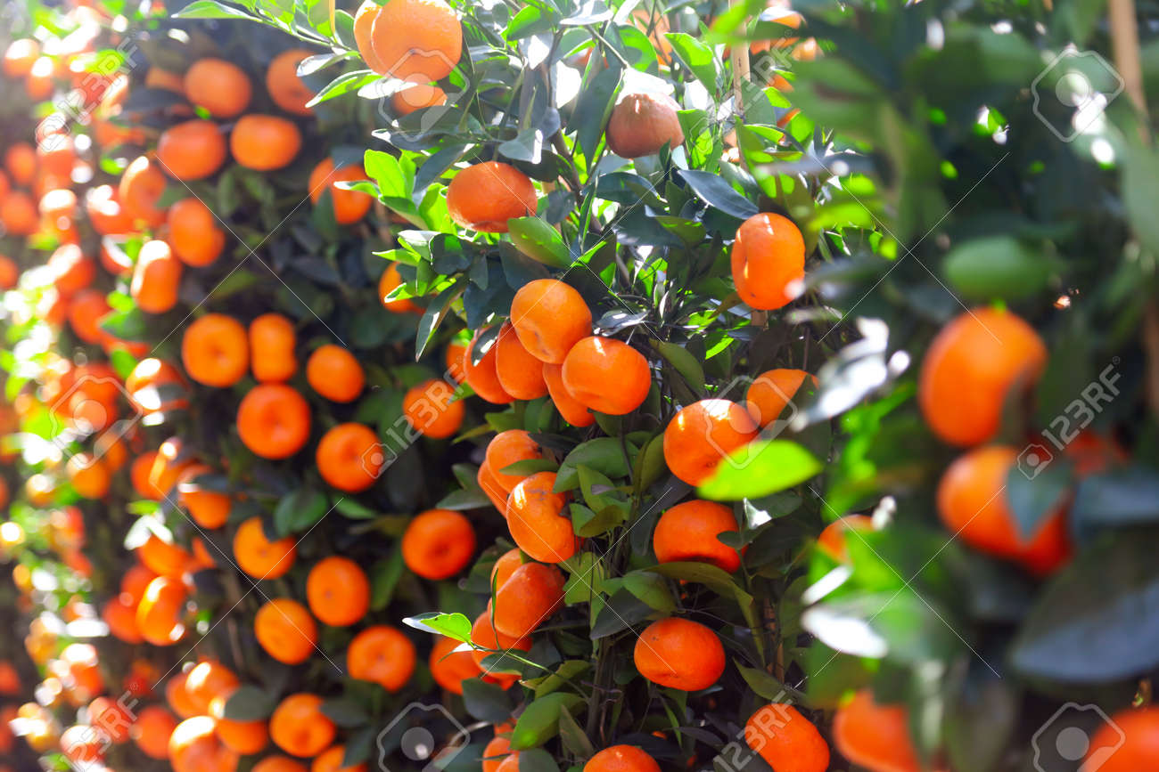 Ripe tangerines on the branches of a tree on nature. - 146551472