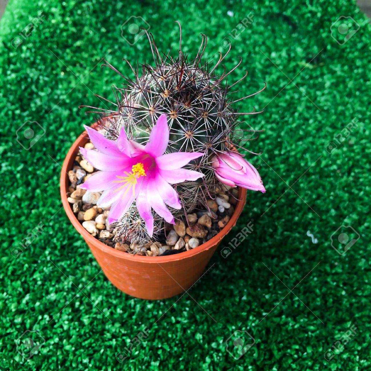 Pink Blooming Flower Cactus On Green Background Stock Photo Picture