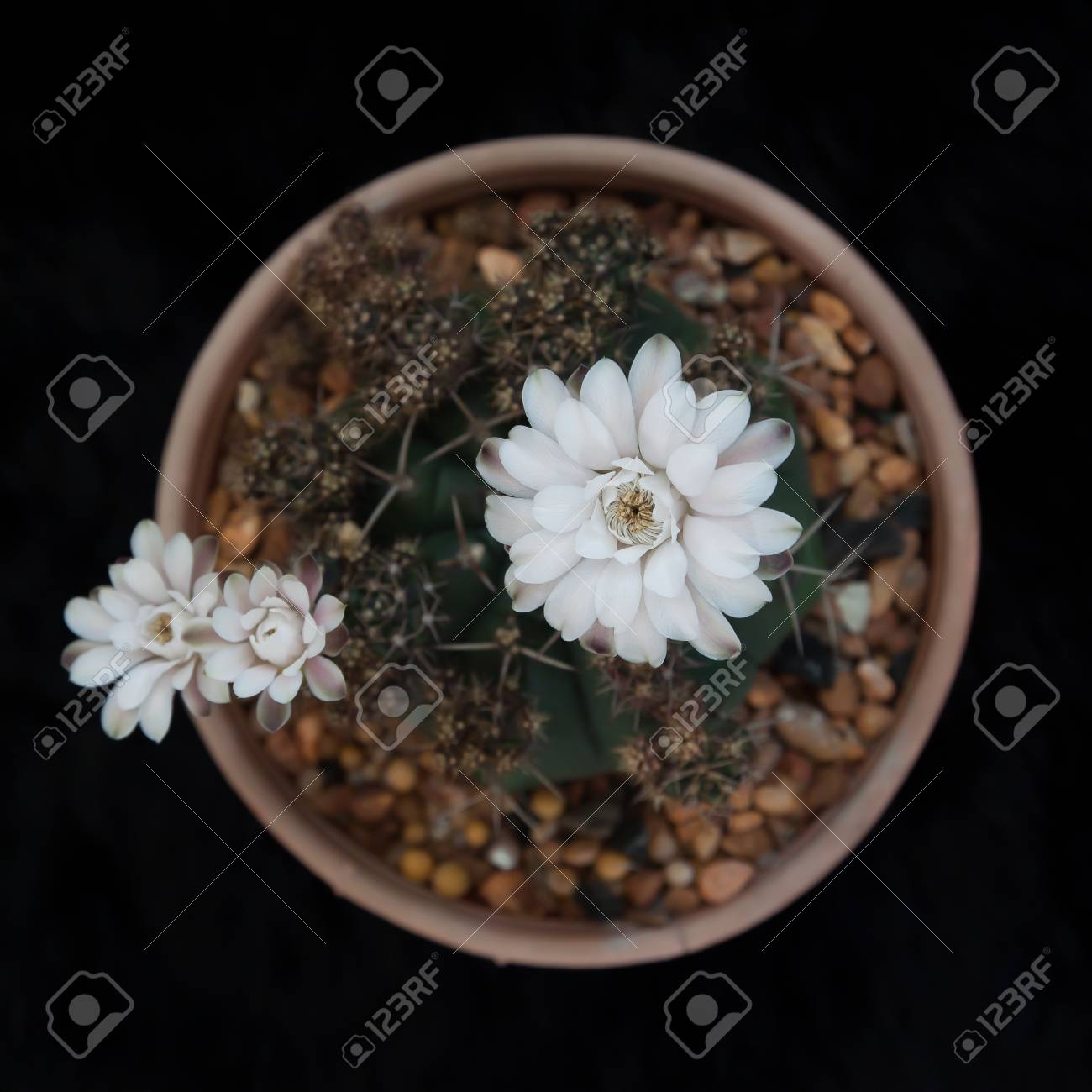 Cactus Plant With White Flowers On Black Background Flat Lay Stock