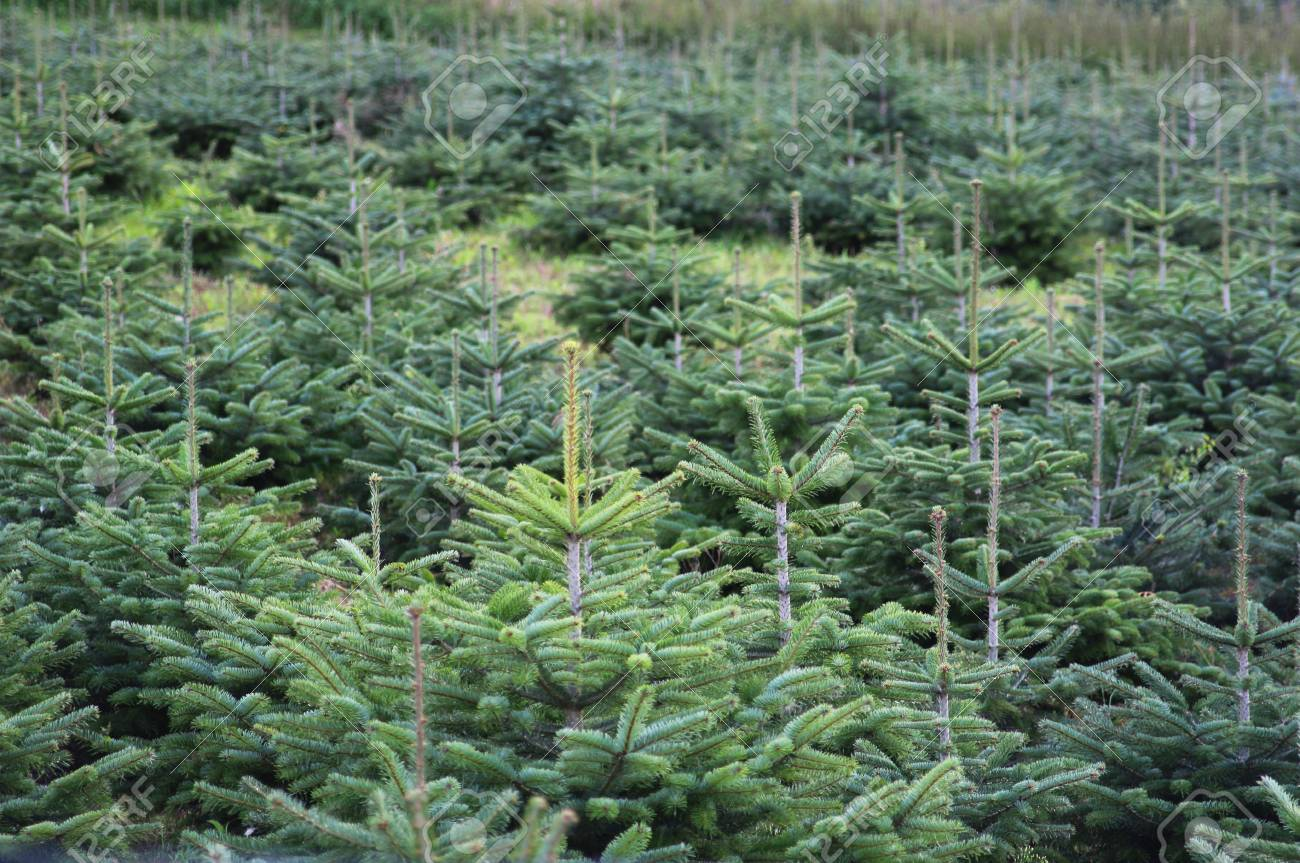 In A Christmas Tree Plantation With Young Green Conifers Stock Photo