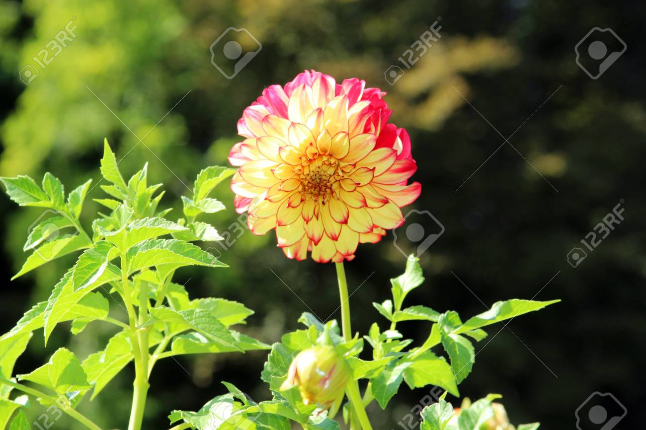 Beautiful Dahlia Blossom With Two Colors Yellow And Red In Stock