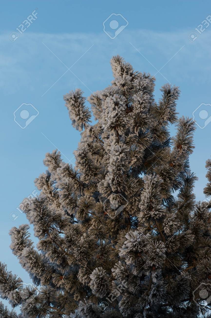 9661999c47 Frost on the trees. Mist evaporation of water. Blue sky. Sunny day. Opaque  air saturated with water vapor