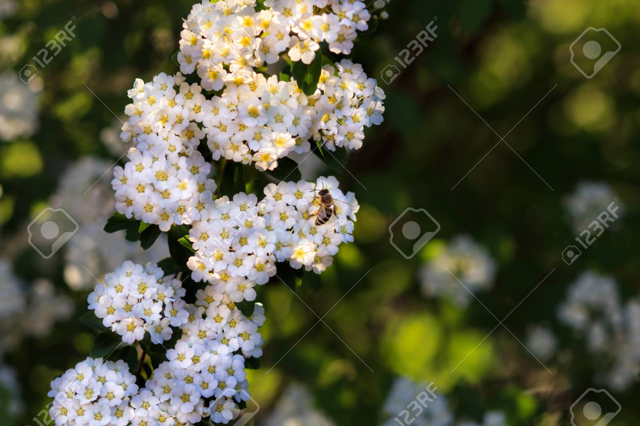 Background of little white flowers blooming bush stock photo background of little white flowers blooming bush stock photo 78018671 mightylinksfo