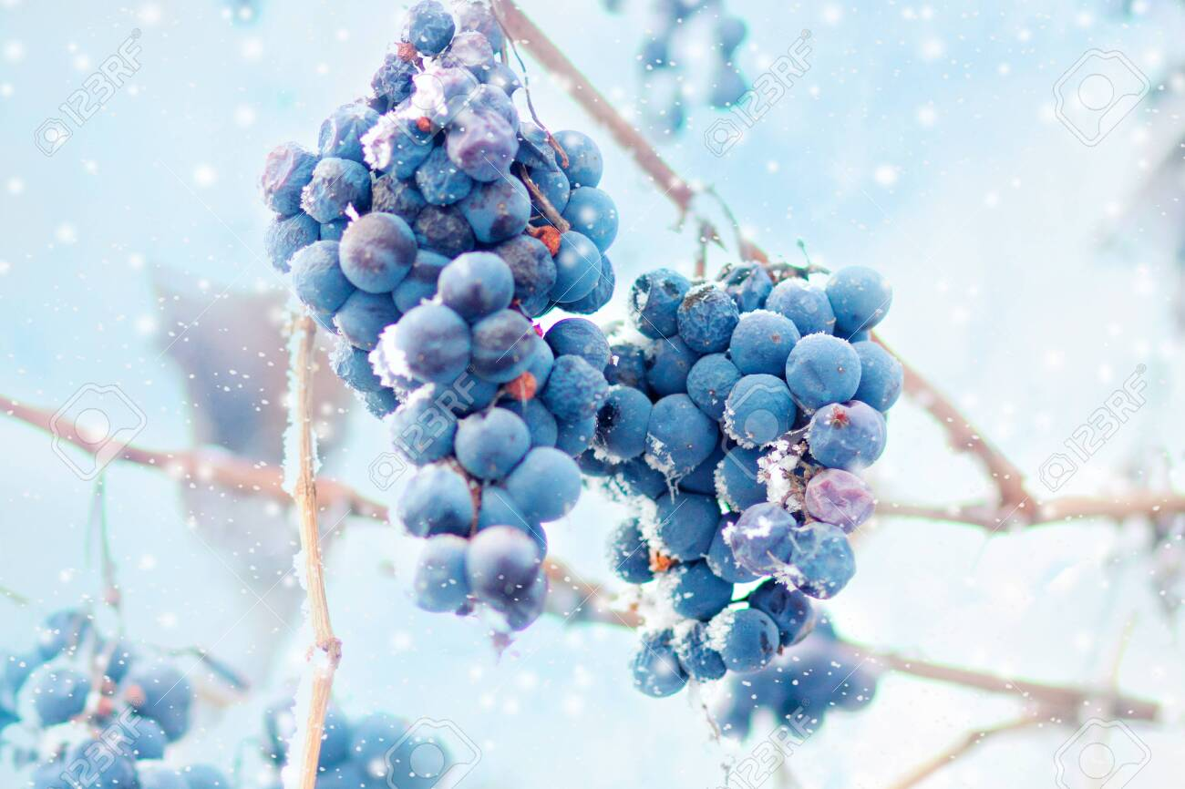 Grapes on the frozen vine - 123520130