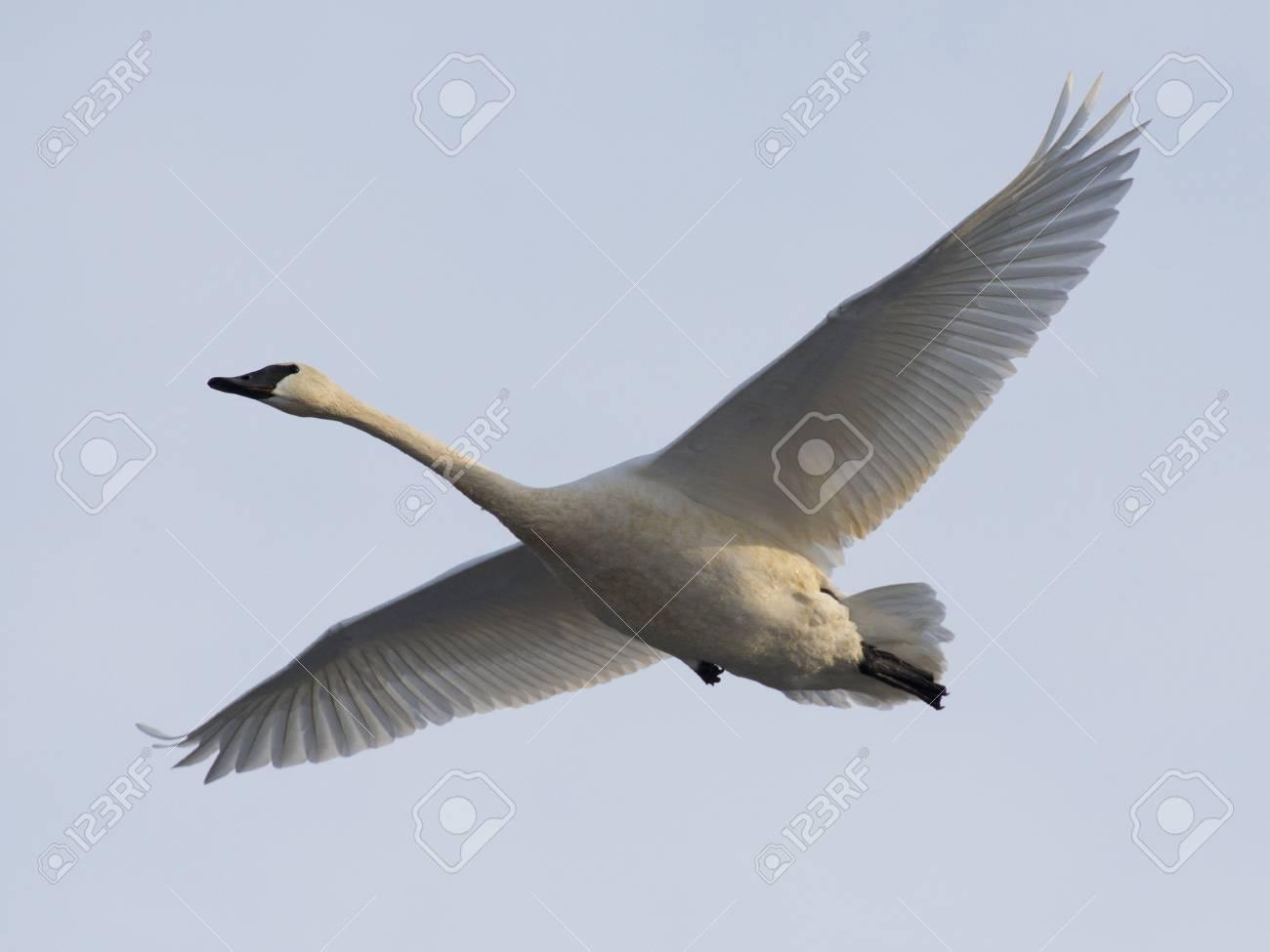 Trumpeter Swan Stock Photo - 17211434