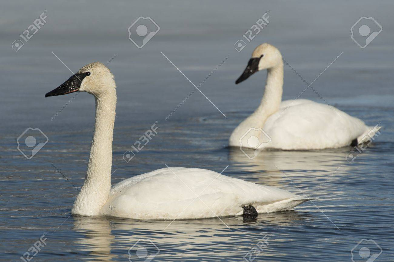 Pair of Trumpeter Swans Stock Photo - 18847263