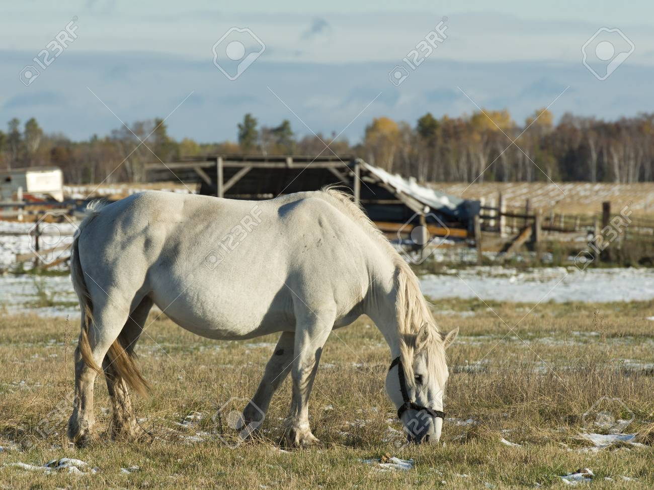 Large White Draft Horse Stock Photo Picture And Royalty Free Image Image 25216128