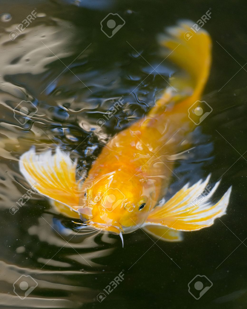Koi Fish   Fancy Koi Fish Stock Photo Picture And Royalty Free Image Image