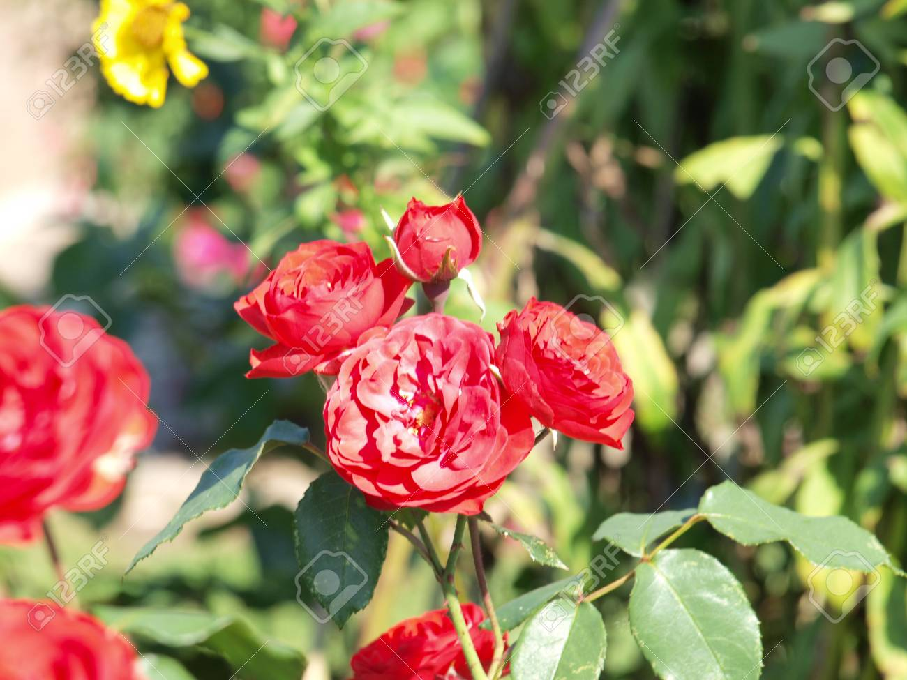Rote Rosen Im Garten Stock Photo Picture And Royalty Free Image