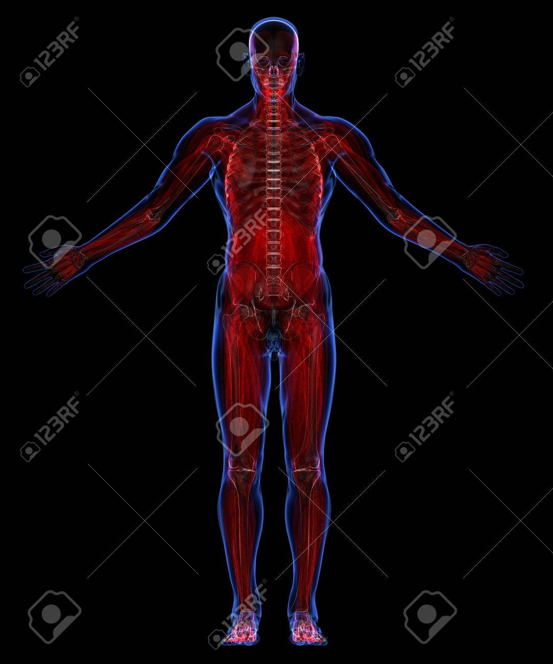 Human Muscular System Stock Photo Picture And Royalty Free Image