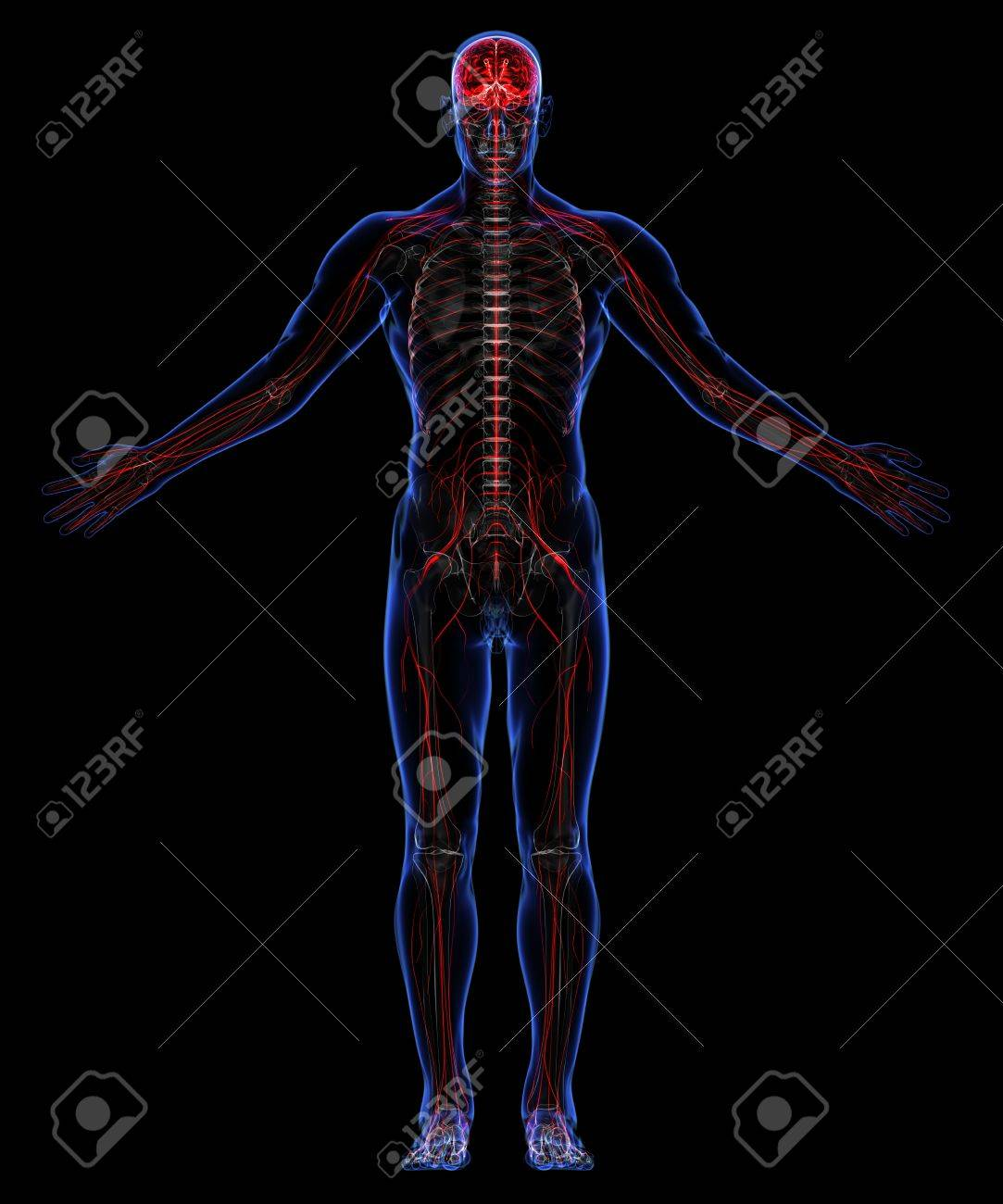 Human skeleton and nervous system Stock Photo - 18292531