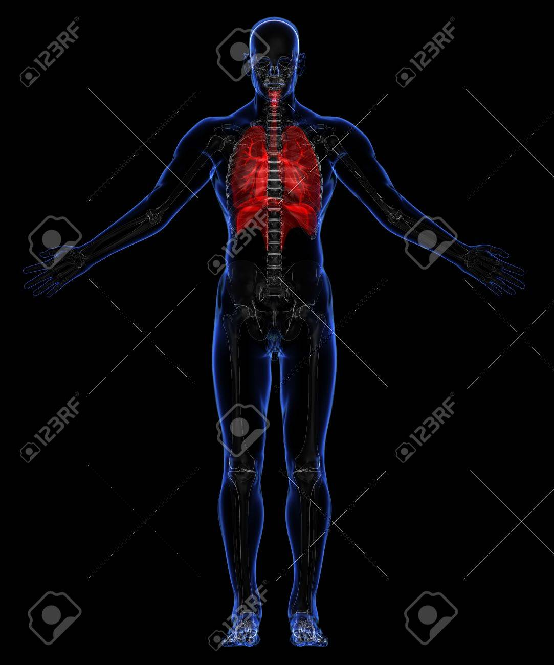 Human skeleton and respiratory system Stock Photo - 18292524