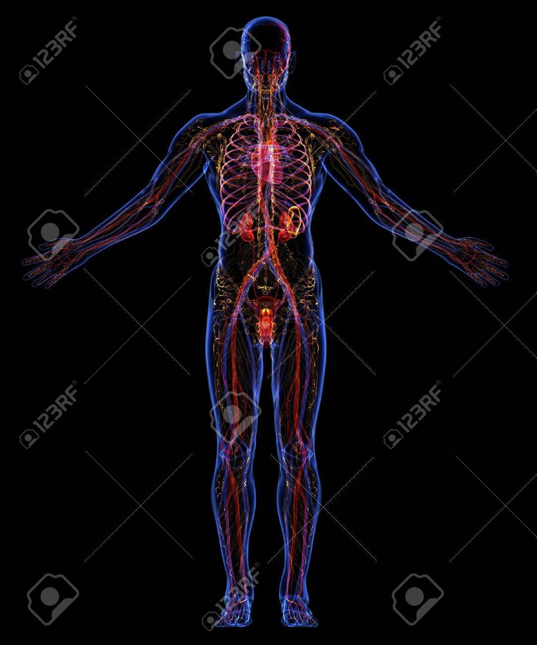 Human urinary, lymphatic and circulatory system - 18292511