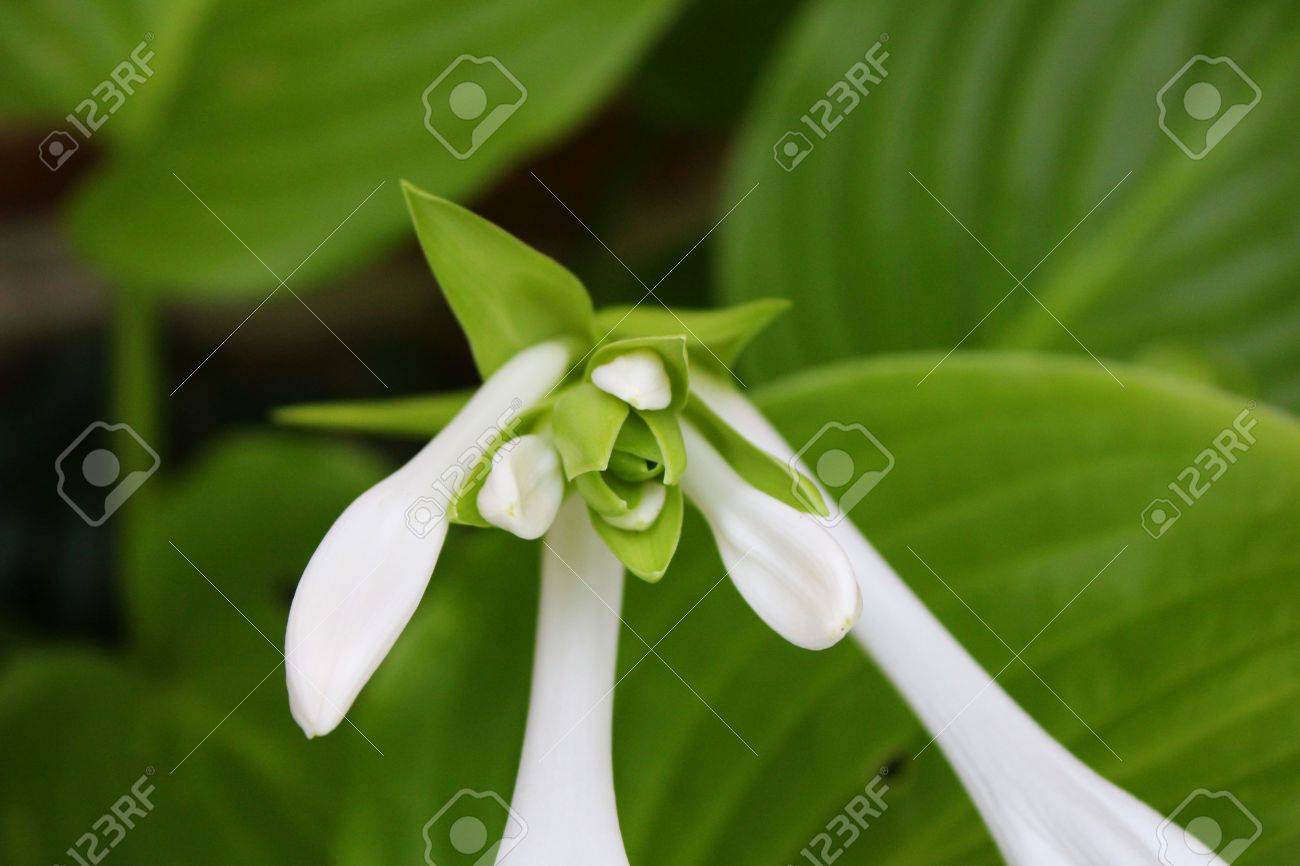 Hosta Honeybells Flower And Leaves