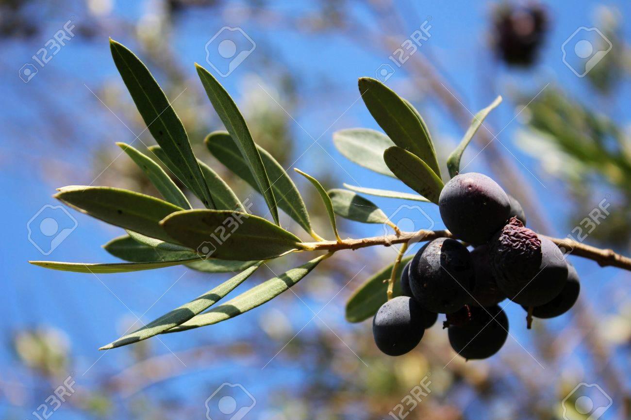 Ripe Black Olives - 60698597