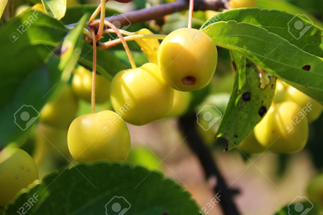 Yellow Paradise Apples - 60692400