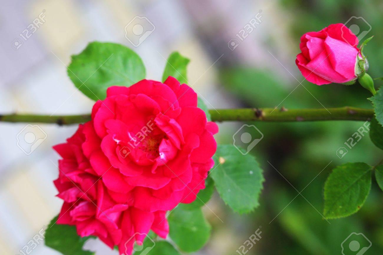 Roses on the bush - 60221349