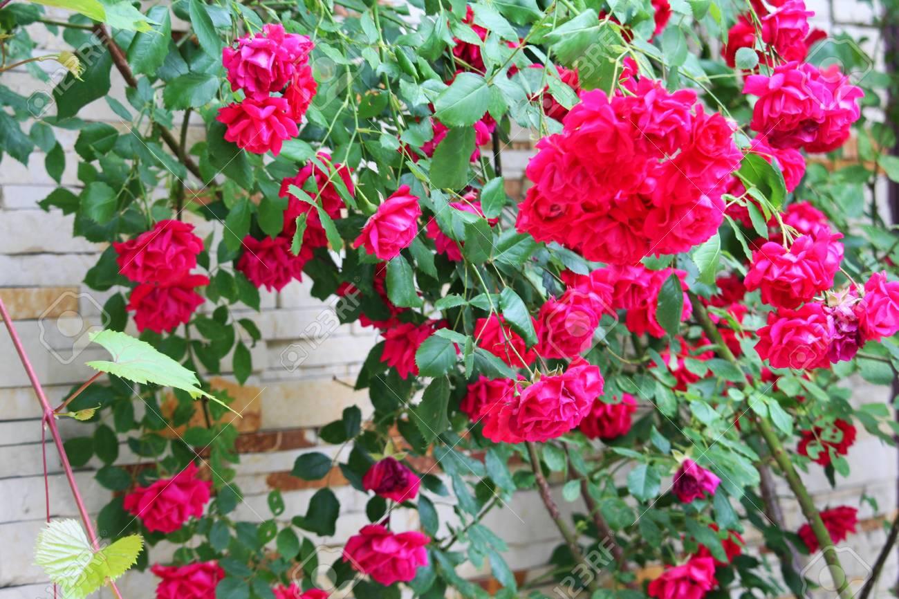 Roses on the bush - 60221362