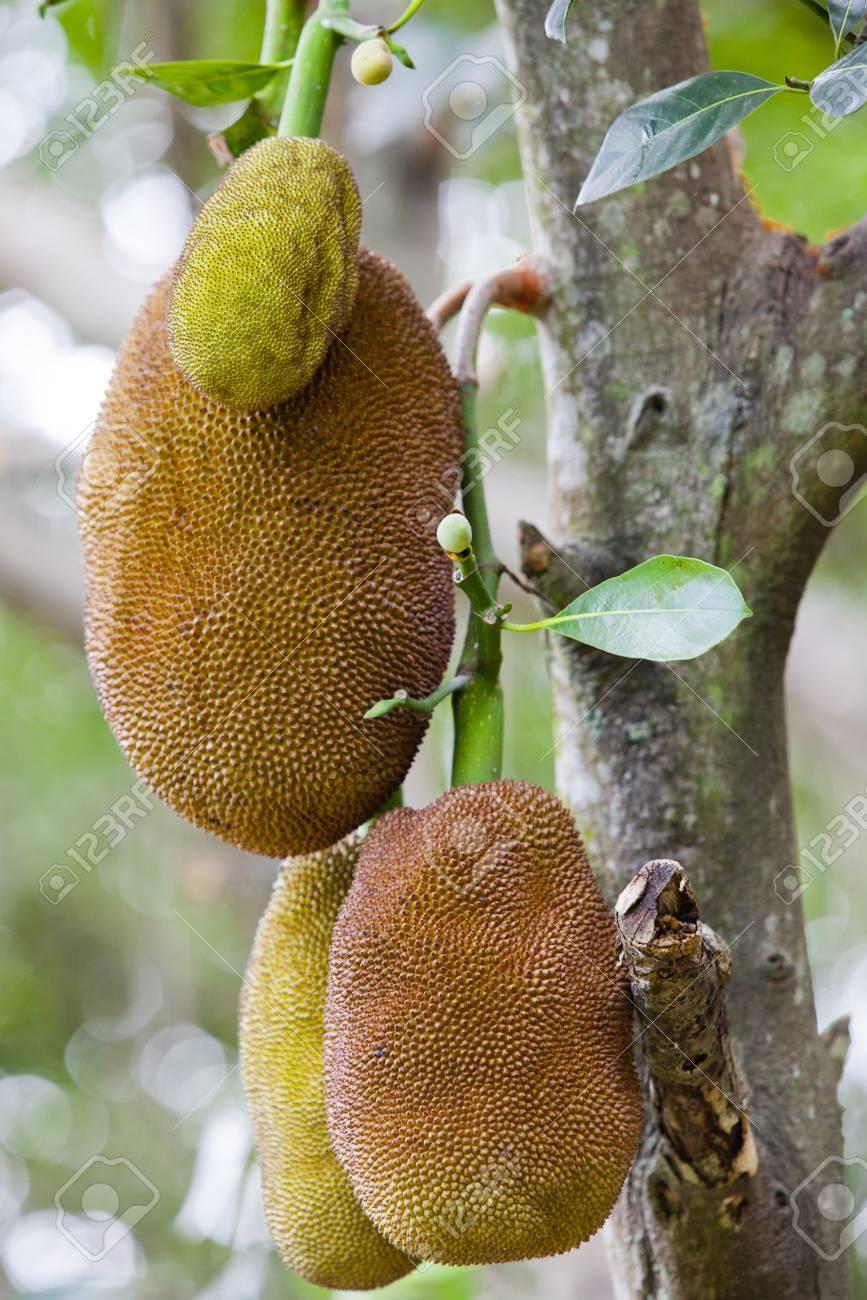 Jack Fruit in Thailand Stock Photo - 12852319