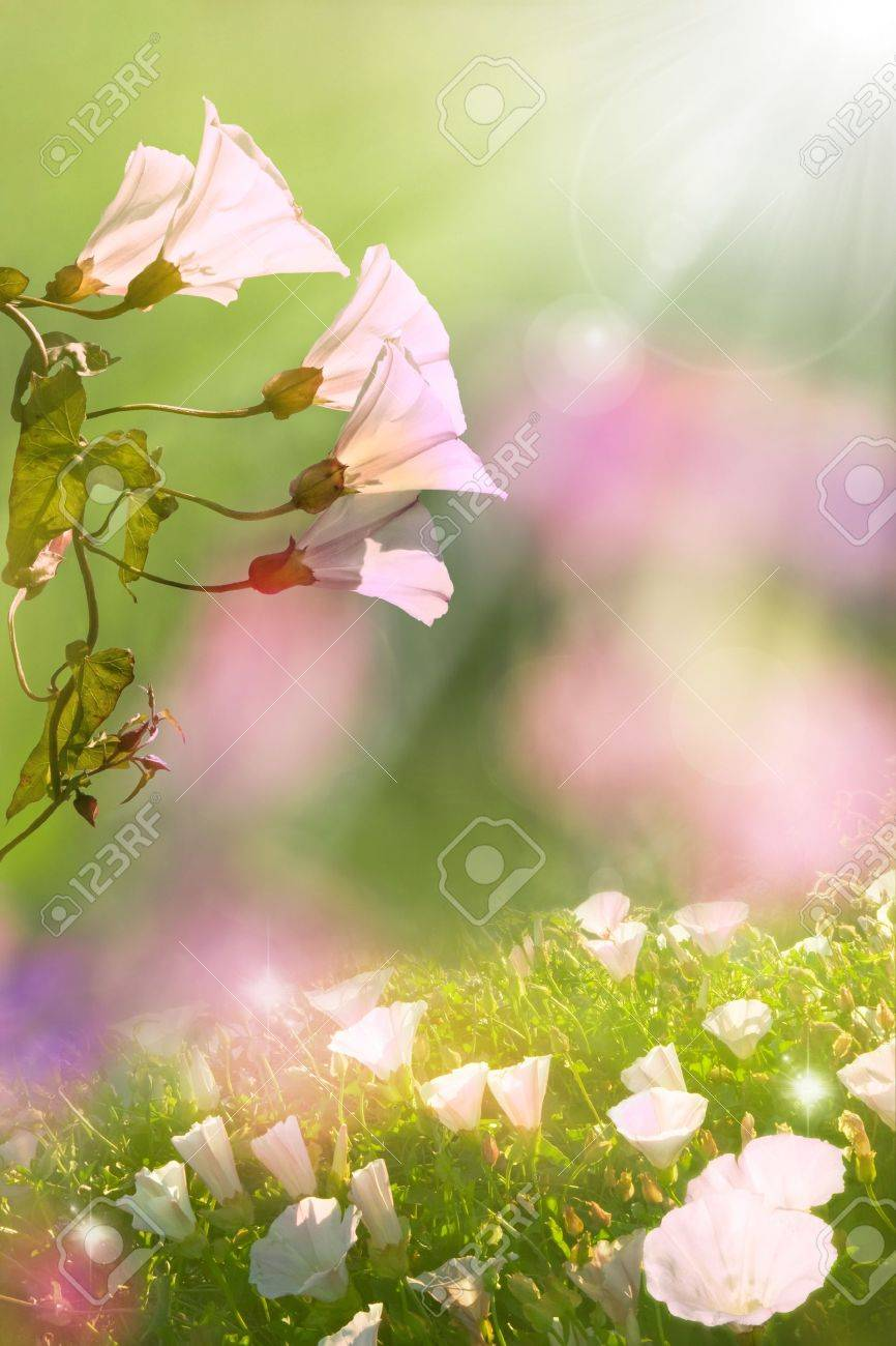 Glowing morning glory flowers in Spring with soft, diffused lighting