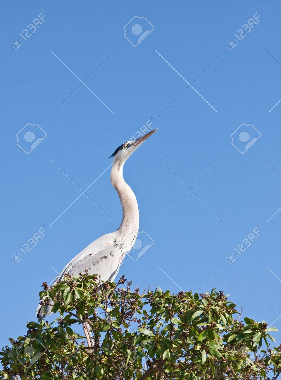 A great blue heron photographed in Santa Barbara, California. Stock Photo - 10311195
