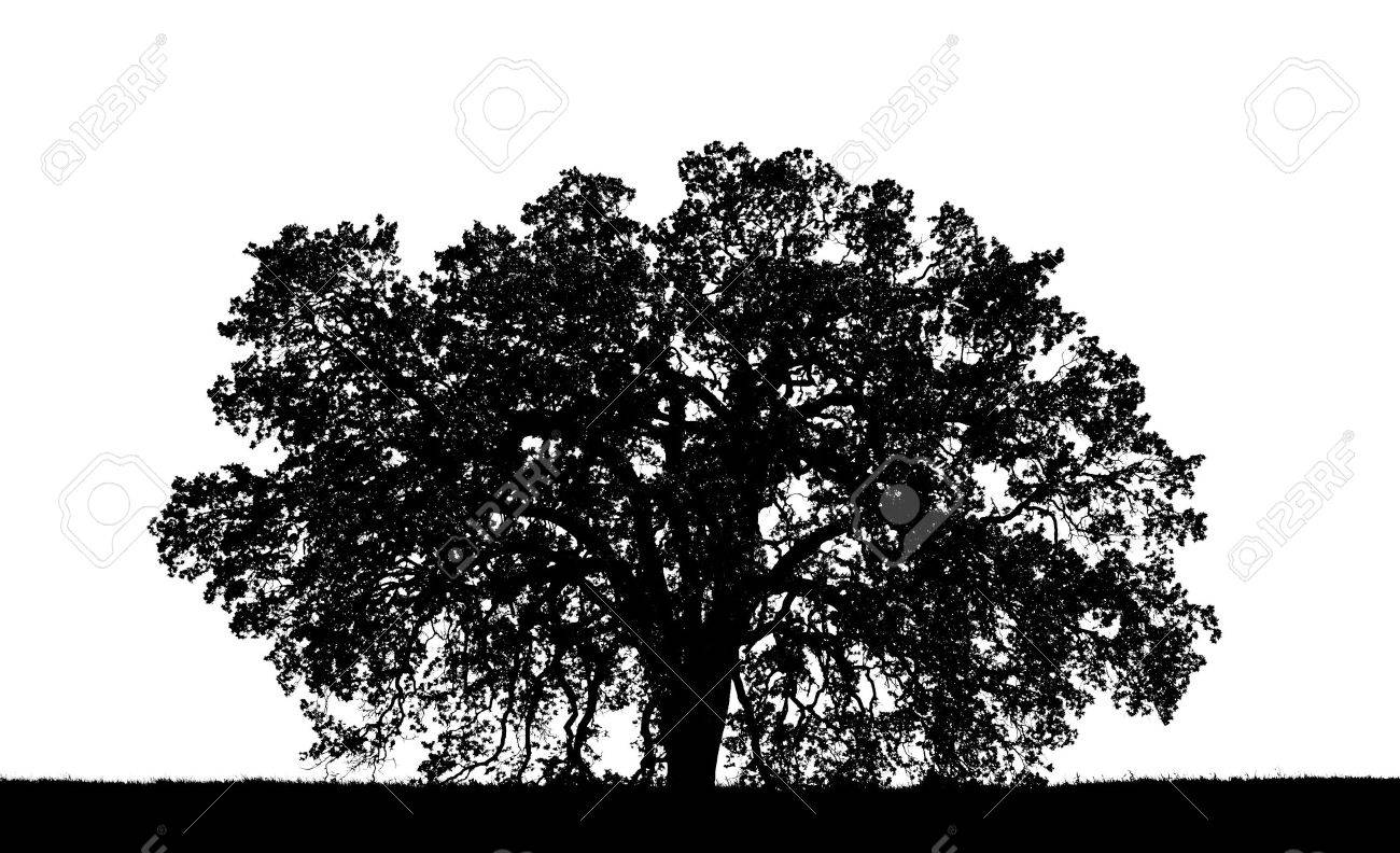 a graphic oak tree silouette stock photo picture and royalty