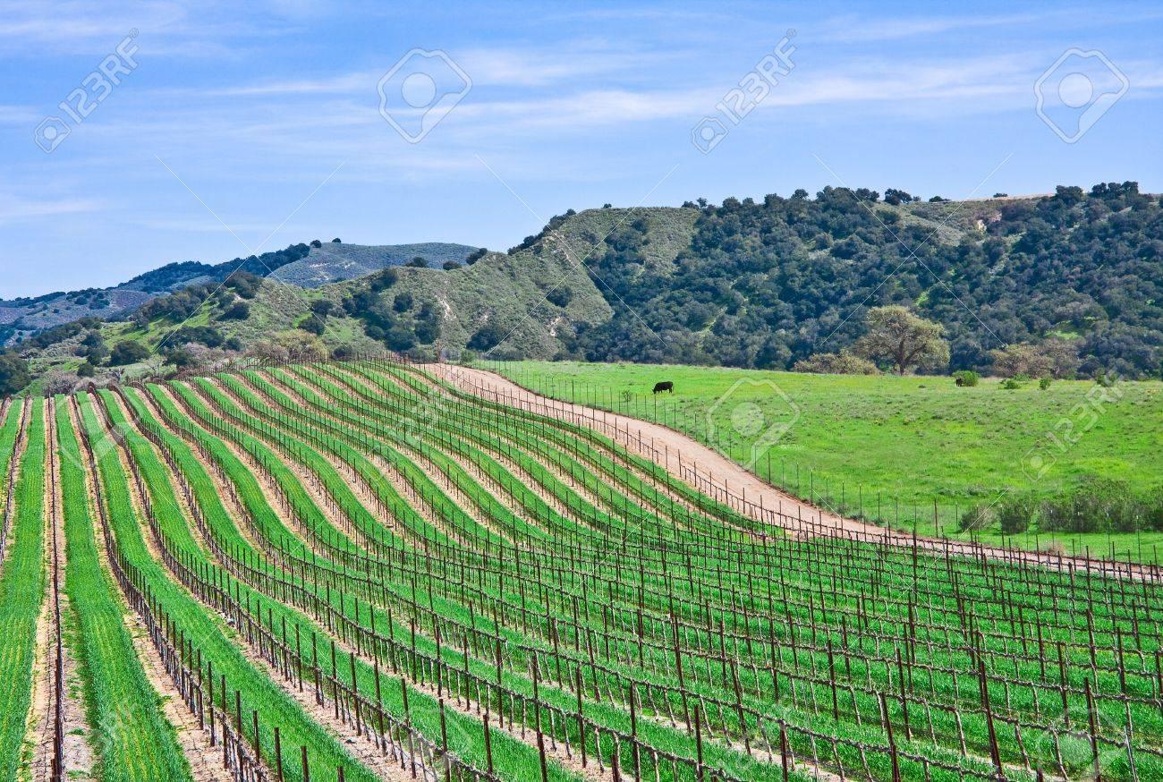 A vineyard landscape near Santa Barbara, California. - 10533696