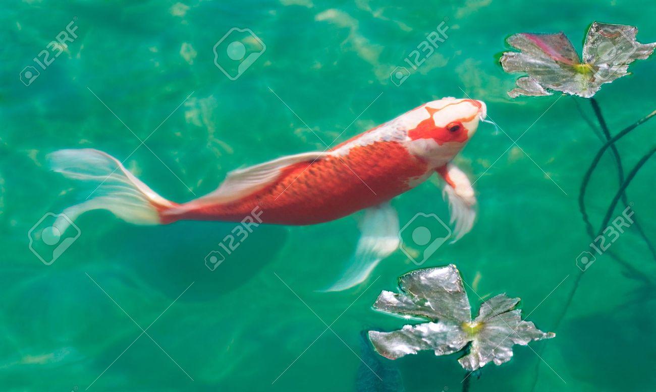 una carpa koi en un estanque de peces foto de archivo