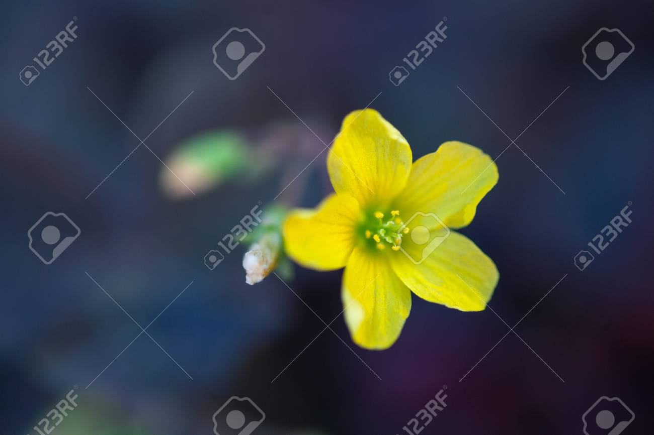 Yellow Flower Oxalis With Blossom With Purple Leafs Macro
