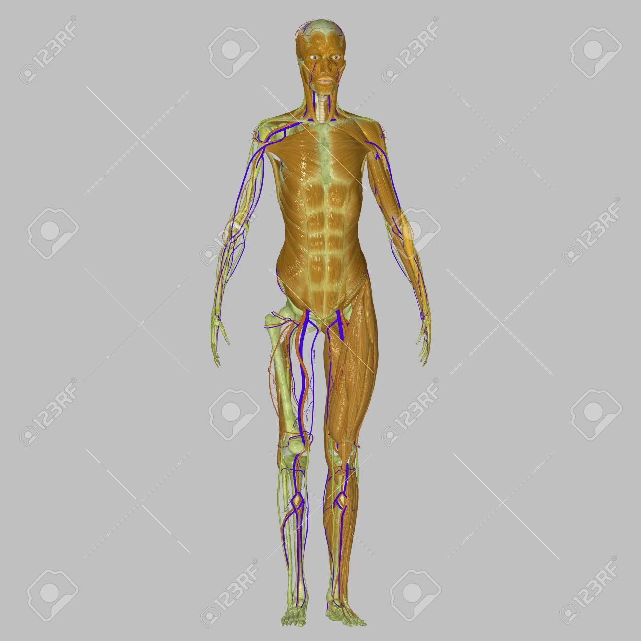 Fantástico Huesos De Las Piernas Ilustración - Imágenes de Anatomía ...