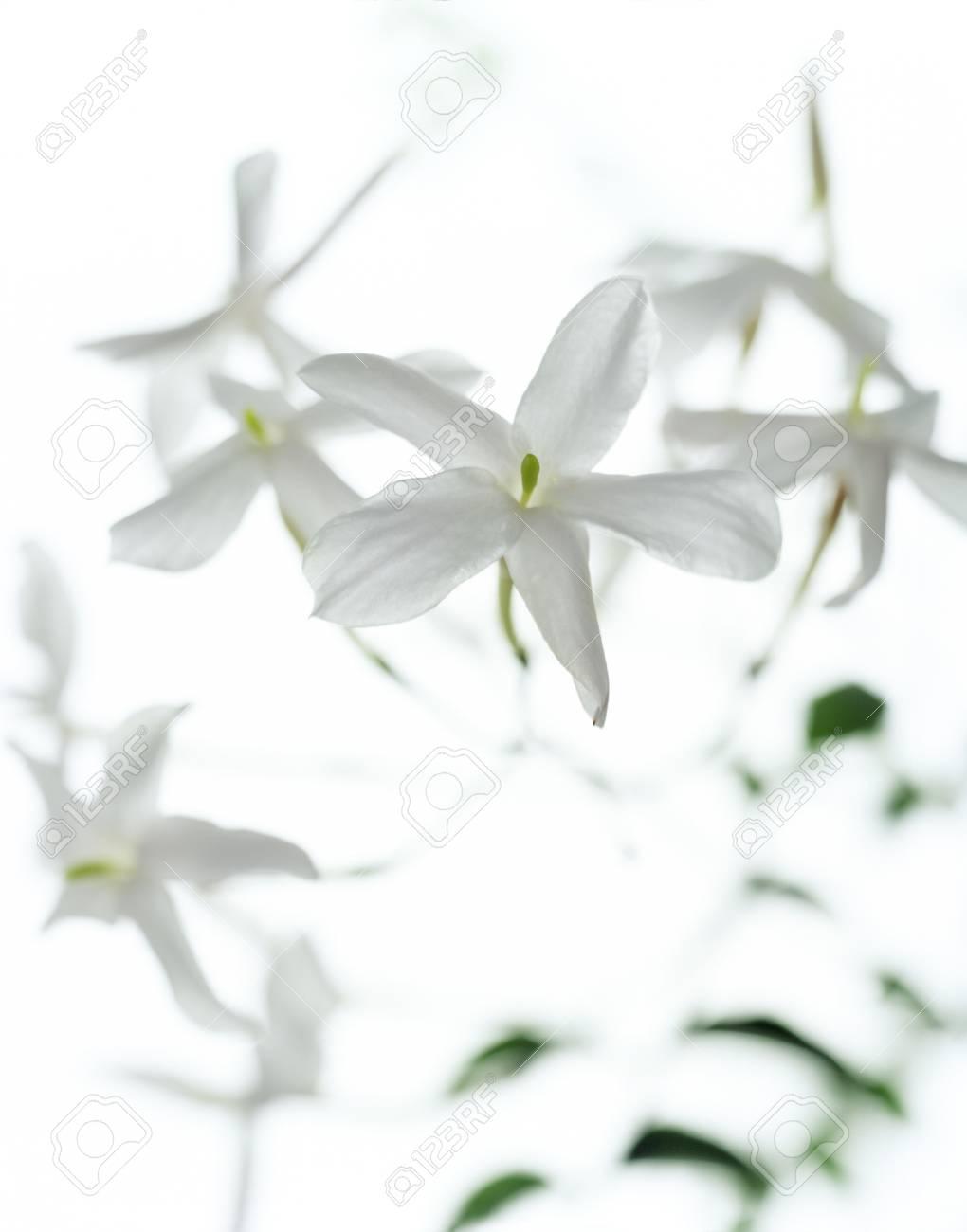 Jasmine flowers family oleaceae stock photo picture and royalty jasmine flowers family oleaceae stock photo 77541243 izmirmasajfo Gallery
