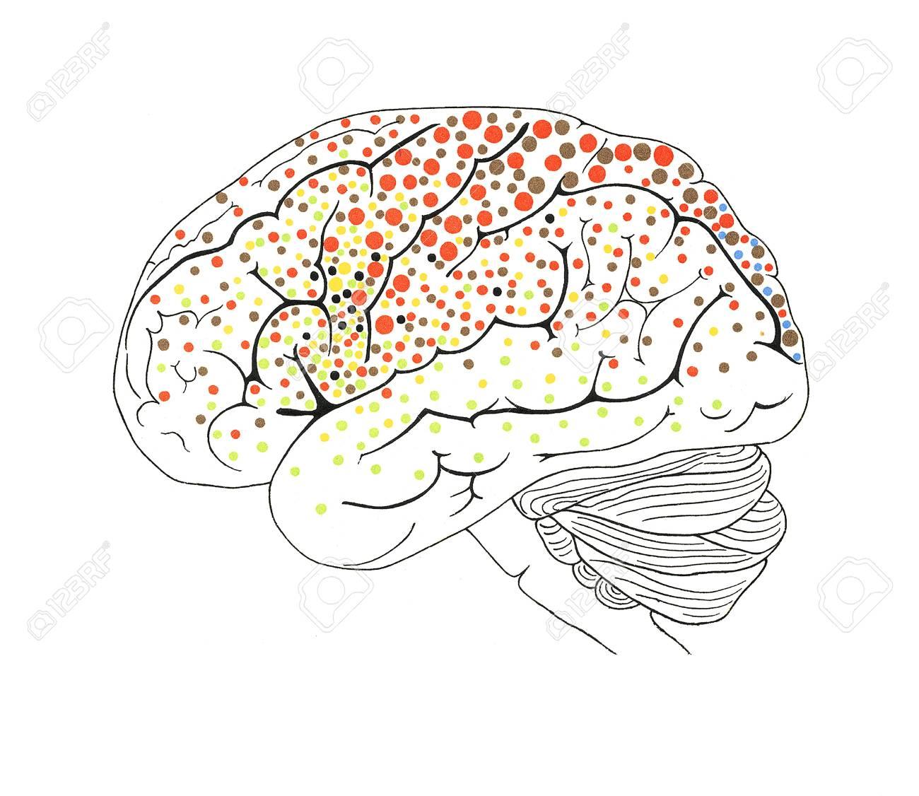 La Anatomía Del Cerebro, Obras De Arte Fotos, Retratos, Imágenes Y ...