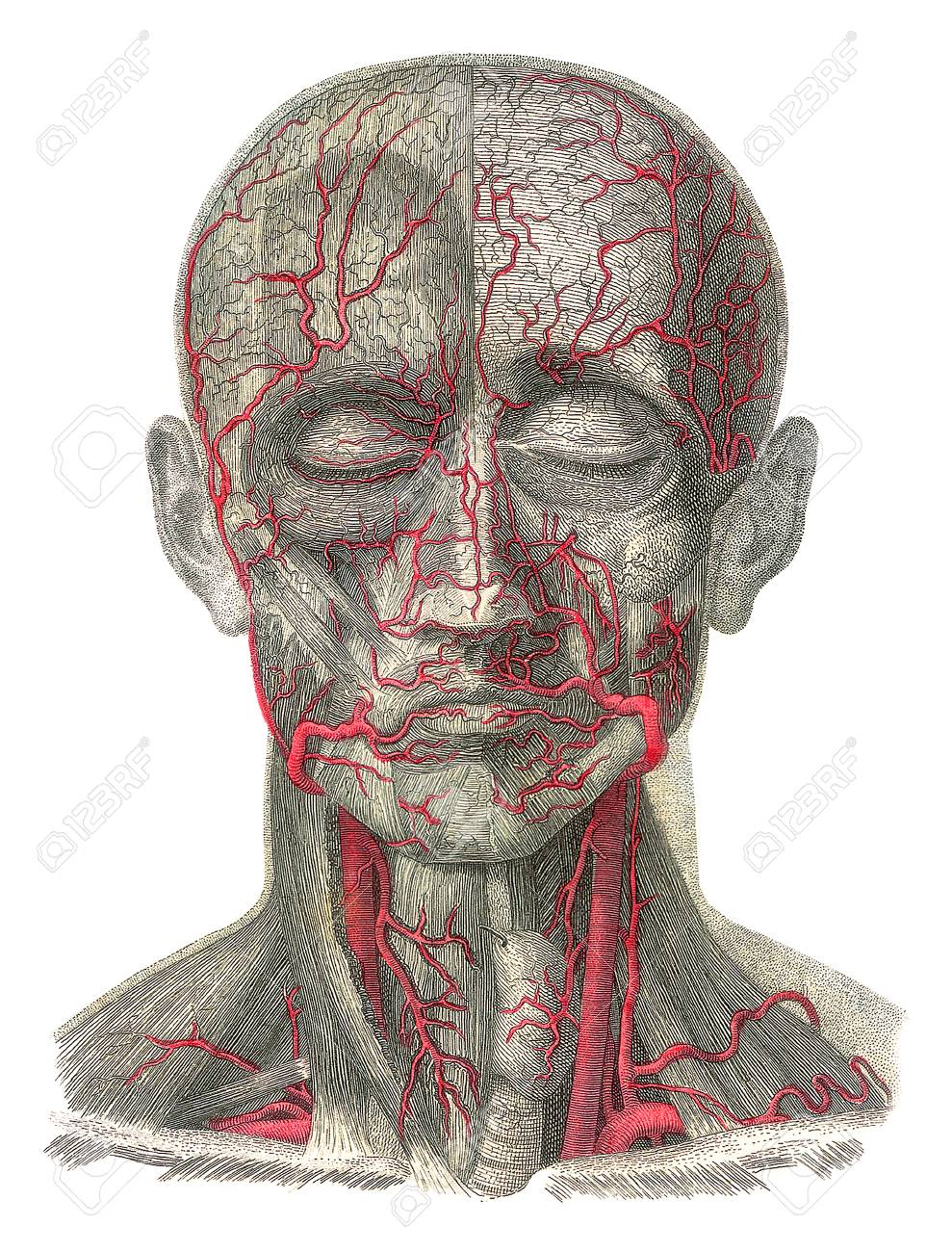 Blood Vessels Of The Headartwork Stock Photo Picture And Royalty
