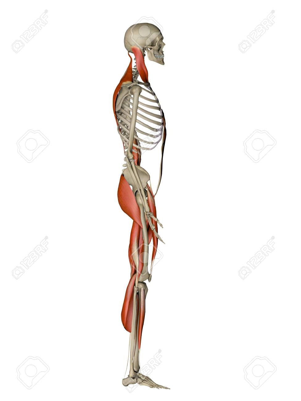 Computer Artwork Showing The Main Muscles Controlling Human Posture ...