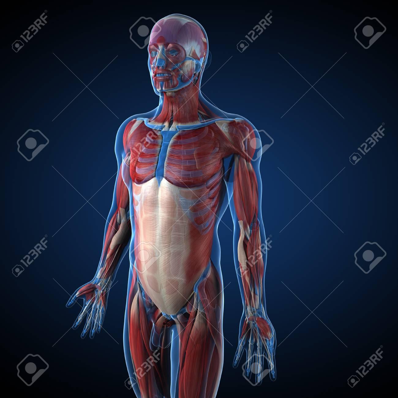 Nett Anatomie Der Skelettmuskeln Galerie - Physiologie Von ...