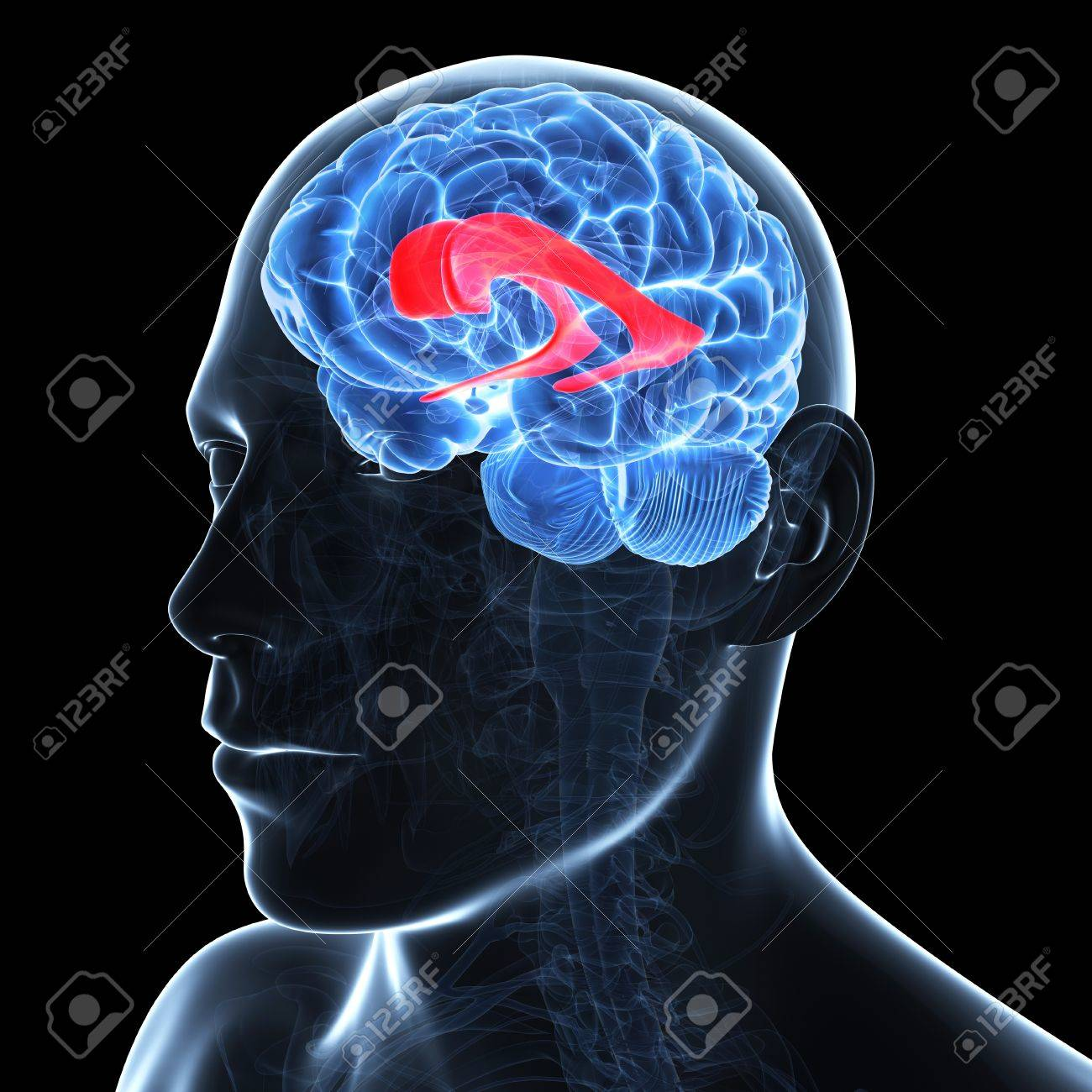 Lateral Ventricle,artwork Stock Photo, Picture And Royalty Free ...
