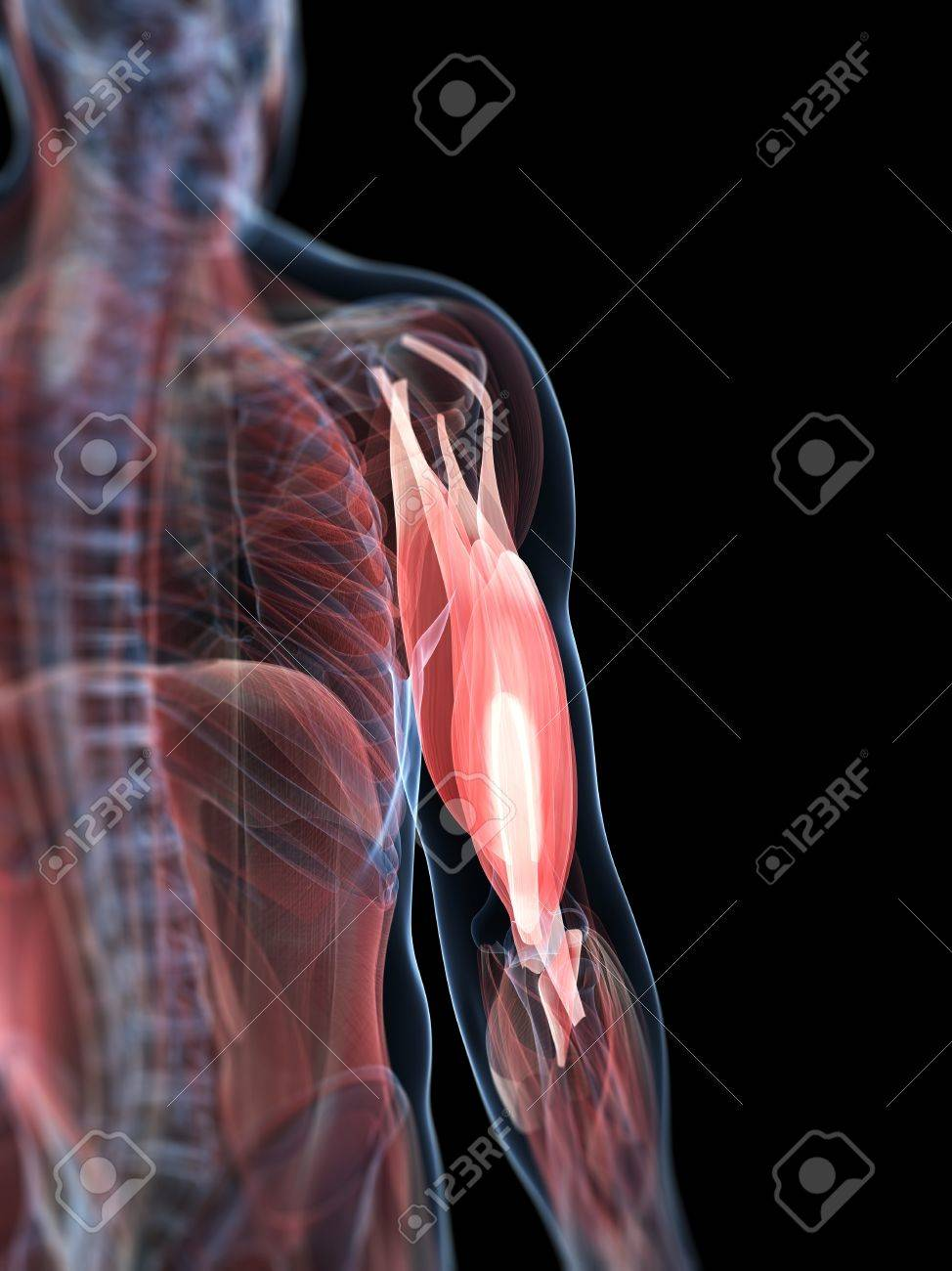 Upper Arm Muscles,artwork Stock Photo, Picture And Royalty Free ...