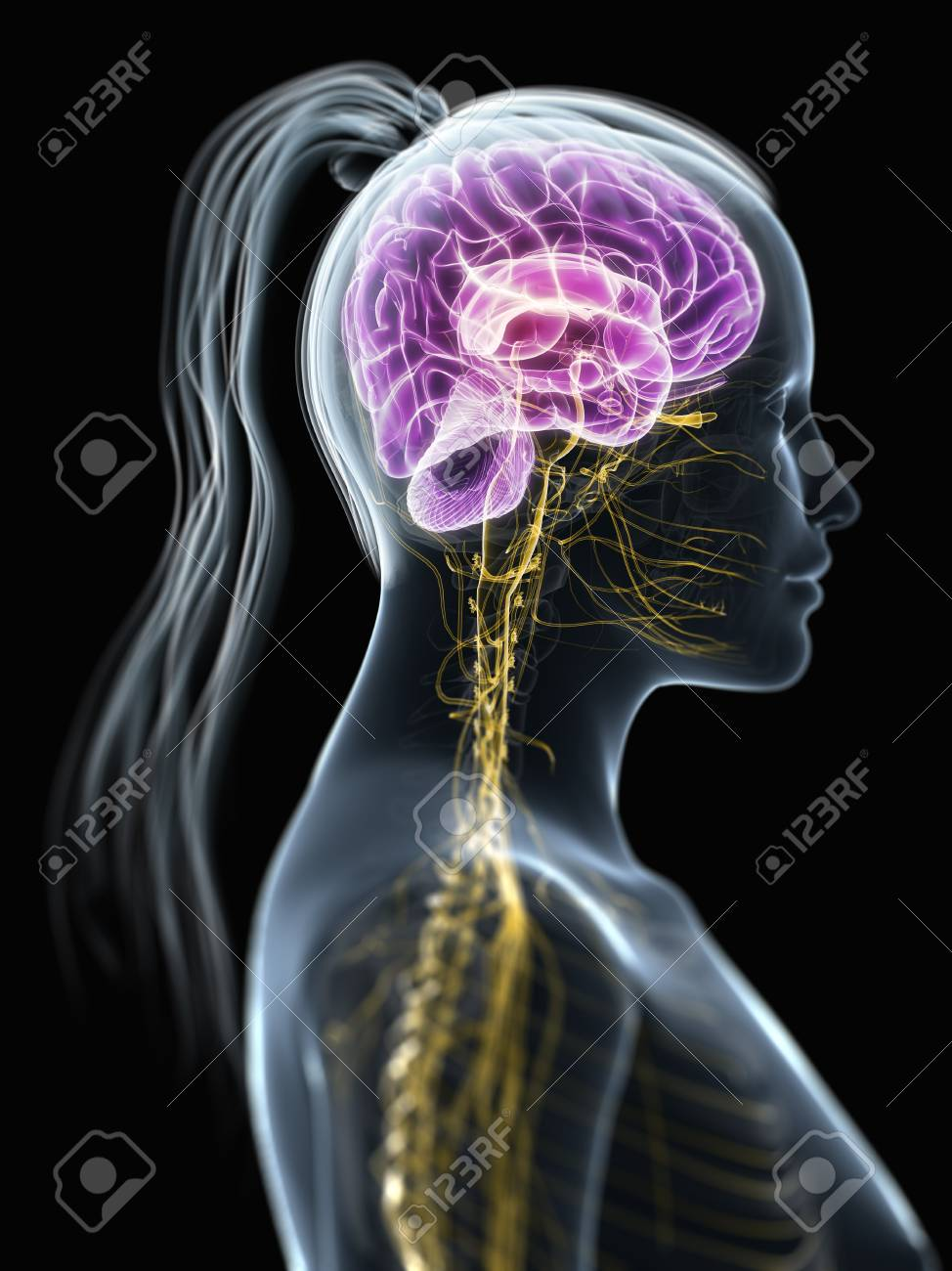 Female Central Nervous System,artwork Stock Photo, Picture And ...