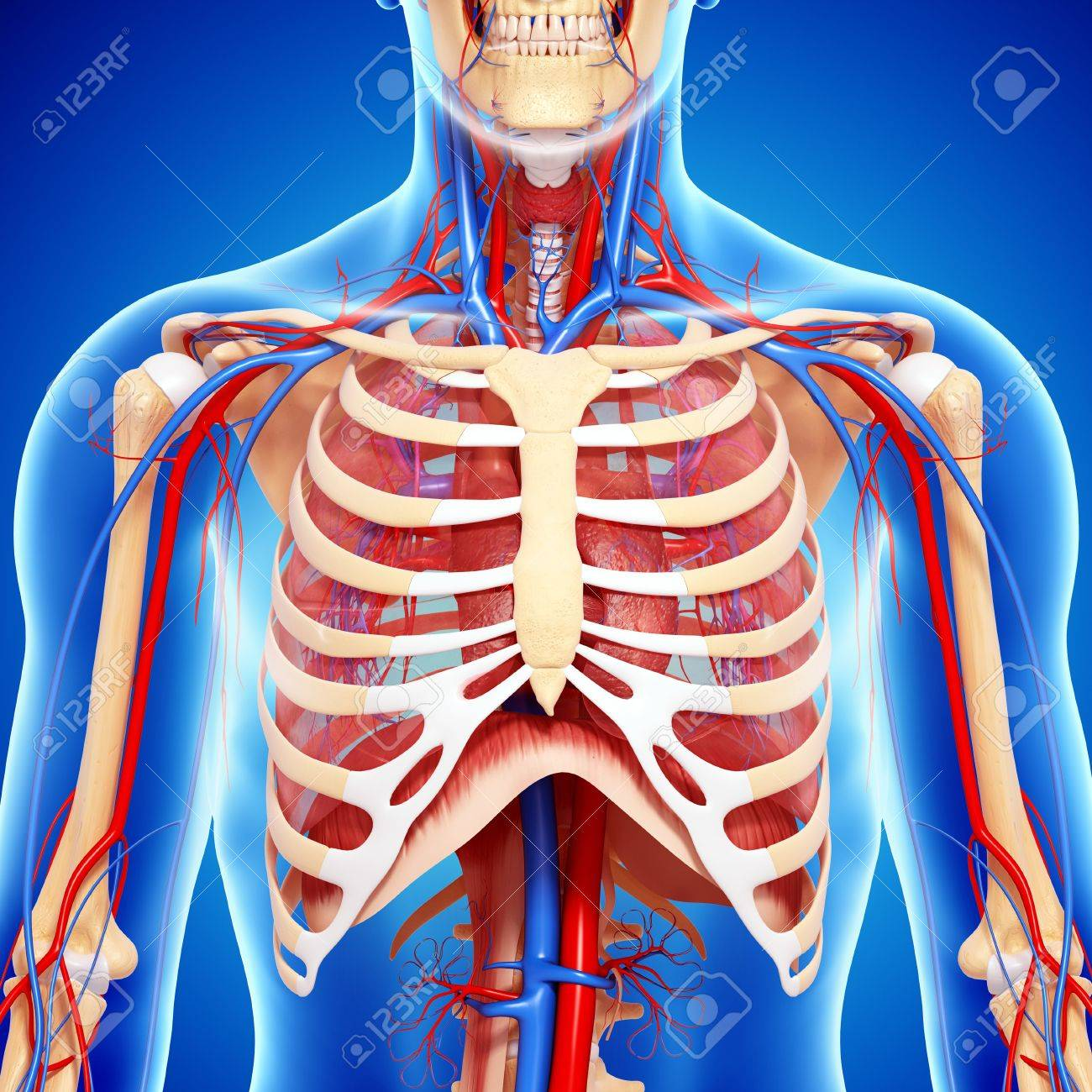 Chest Anatomyartwork Stock Photo Picture And Royalty Free Image